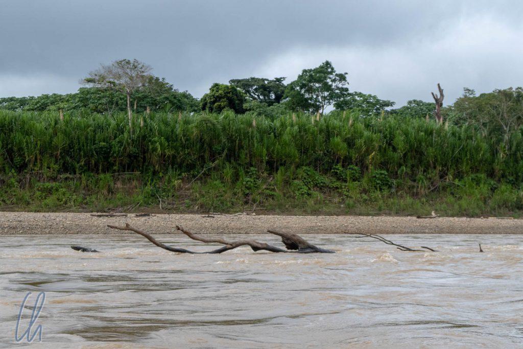 Treibbaum statt Treibholz im Tuichi Fluss