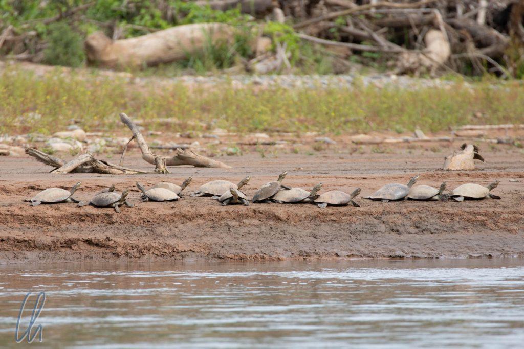 Noch sitzen die Schildkörten am Ufer