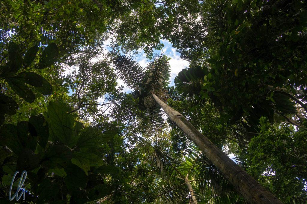 Jede Lücke im Blätterdach wird ausgenutzt: Chonta Palm Tree