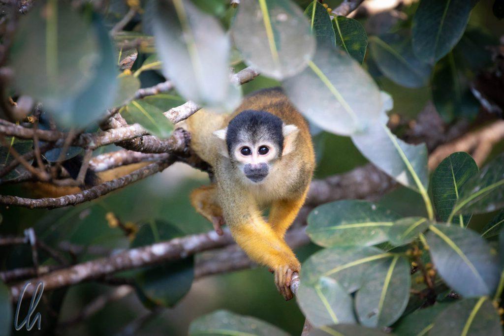 Ein neugeiriges Äffchen: Yellow Squirrel Monkey