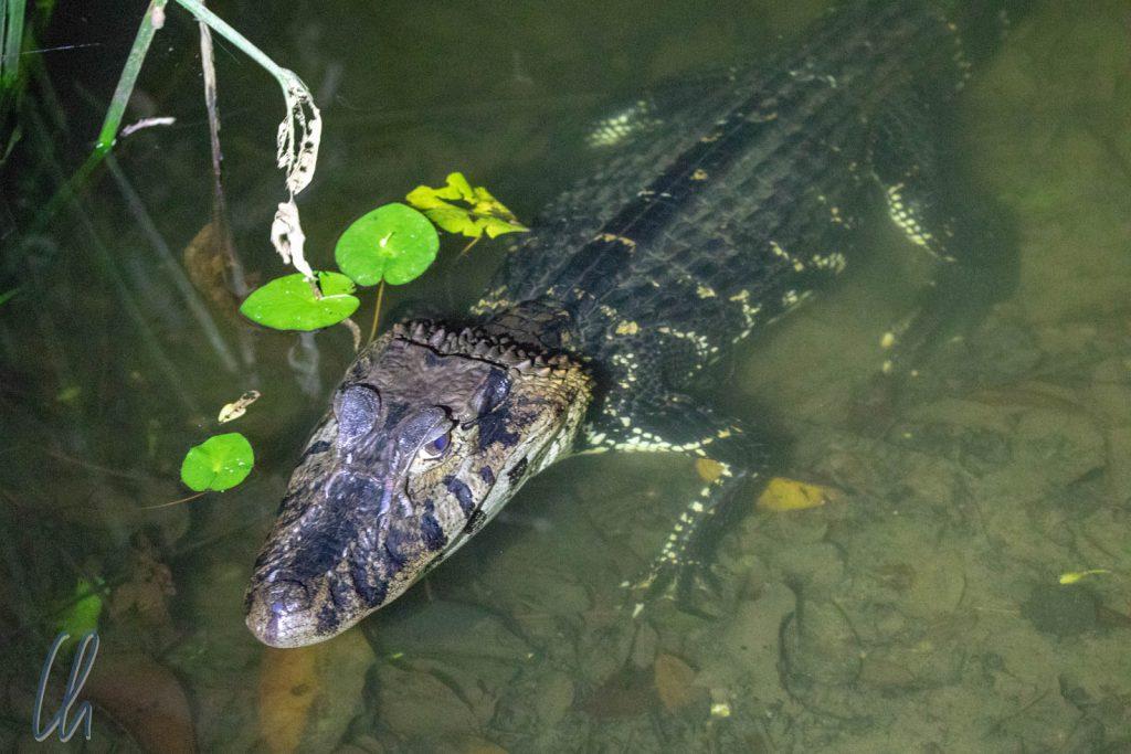 Ein Black Caiman direkt am Anleger des Chalalan Sees