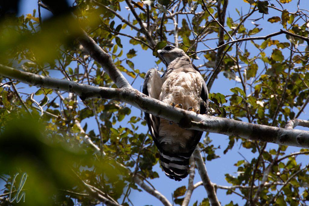 Der stärkste Greifvogel der Welt: Ein Harpy Eagle