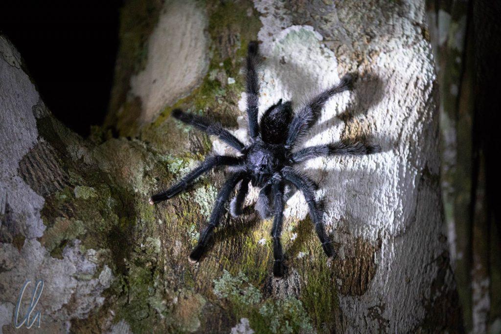 Tarantula lebt. Eine Vogelspinne in direkter Nähe der Lodge