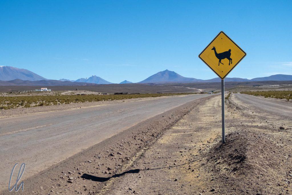 Vorsicht freilaufende Lamas!