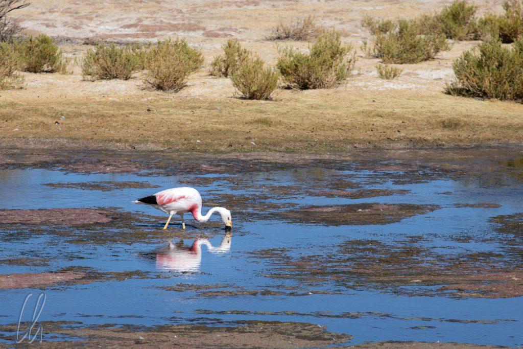 Ein Andean Flamingo sucht südlich von Alota vergnügt nach Nahrung.