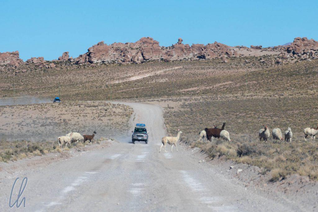 Lama-Crossing. Die Schilder standen zu Recht am Straßenrand ;)