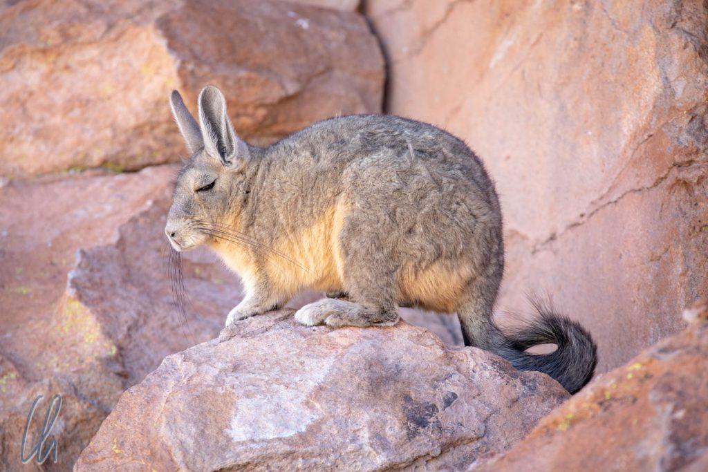 Schläfriges Empfangskomitee: eines der dösenden Viscachas