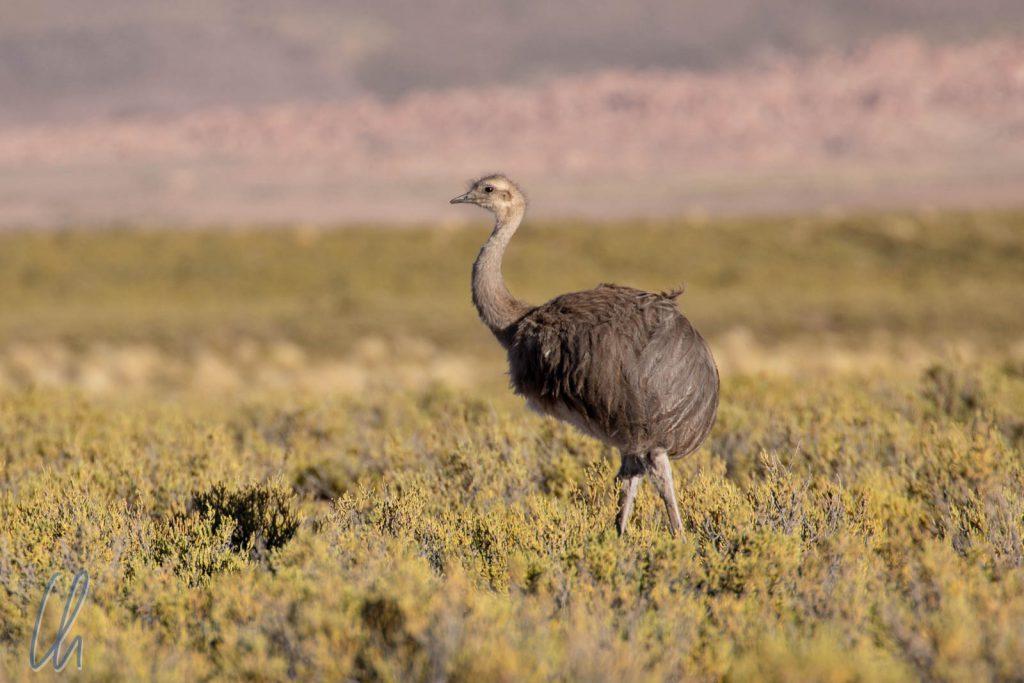 Ein Rhea wandelt durch das Altiplano.