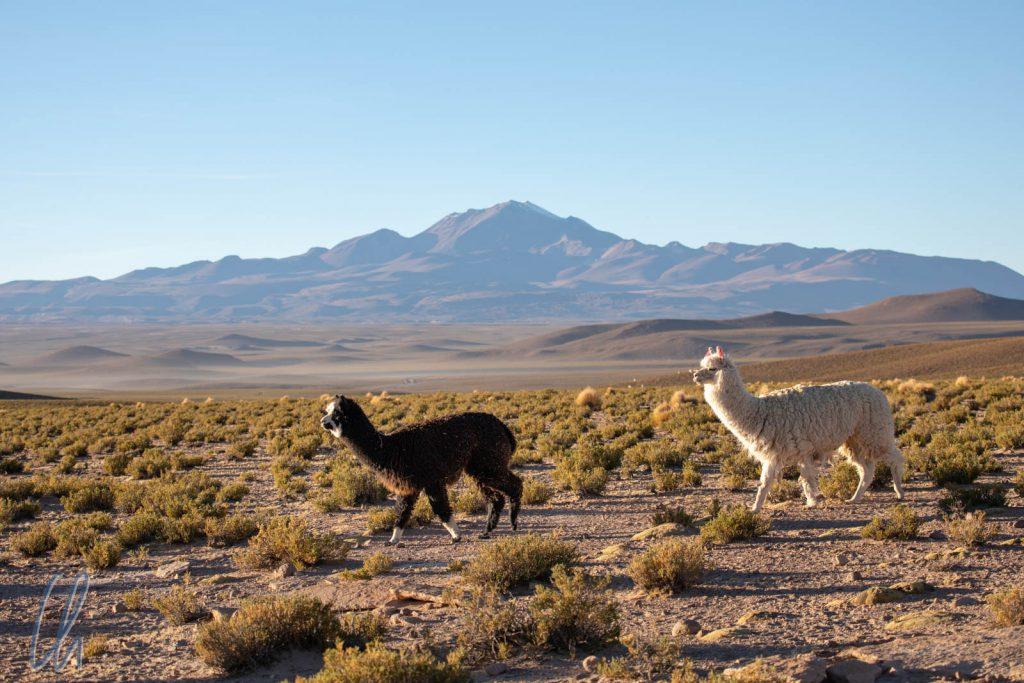 Typisch Bolivien: Alpakas auf dem Altiplano