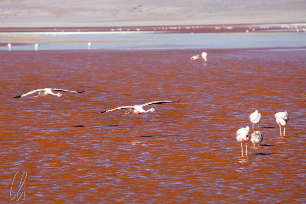 James Flamingos im Landeanflug