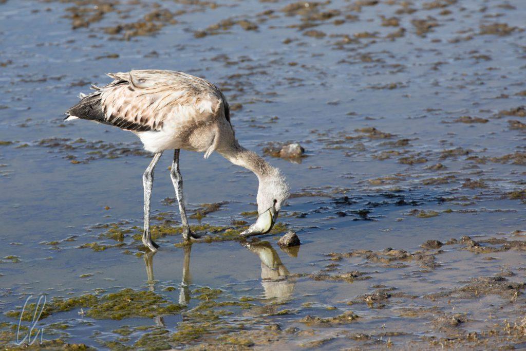 Das Gefieder der jungen Flamingos ist noch grau.