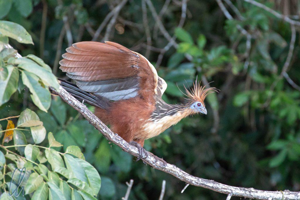 Der Hoatzin, ein außergewöhnlicher Vogel