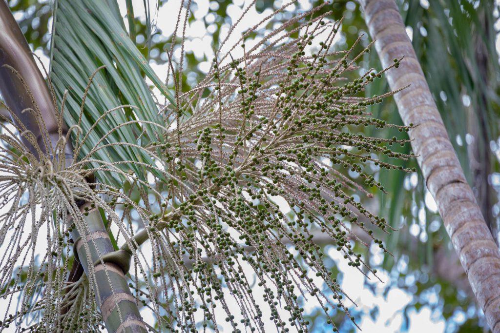 Açaí-Früchte reifen auf einer Palme.