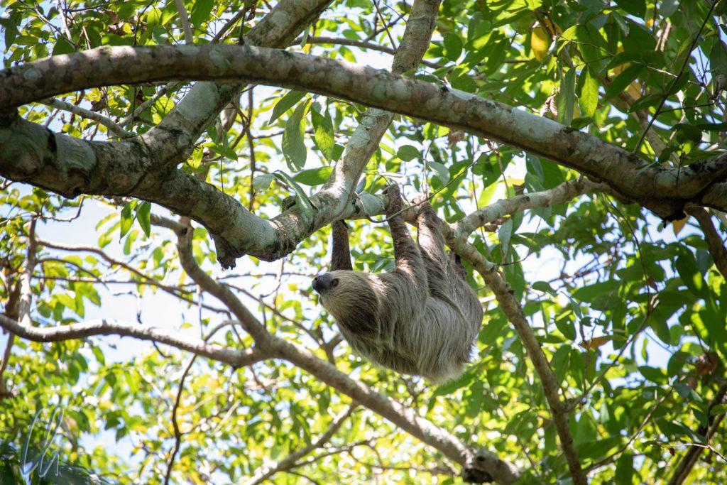 Einfach mal abhängen - Ein Faultier im Bosque da Ciência