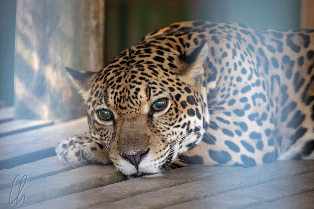 Cunhã: Als Welpe misshandelt, erblindet als Jugendlicher, heute ein Star des Zoos von Manaus.