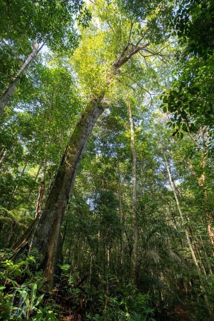 Ein Urwaldriese im Regenwald