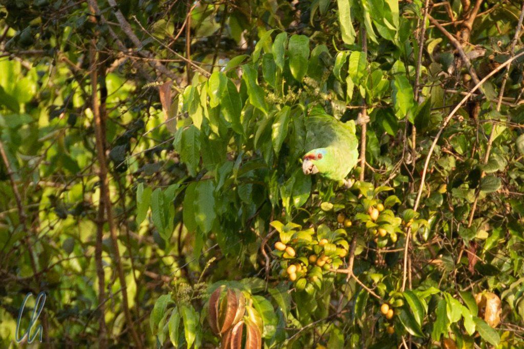 Gut getarnt, grüner Vogel im grünen Baum