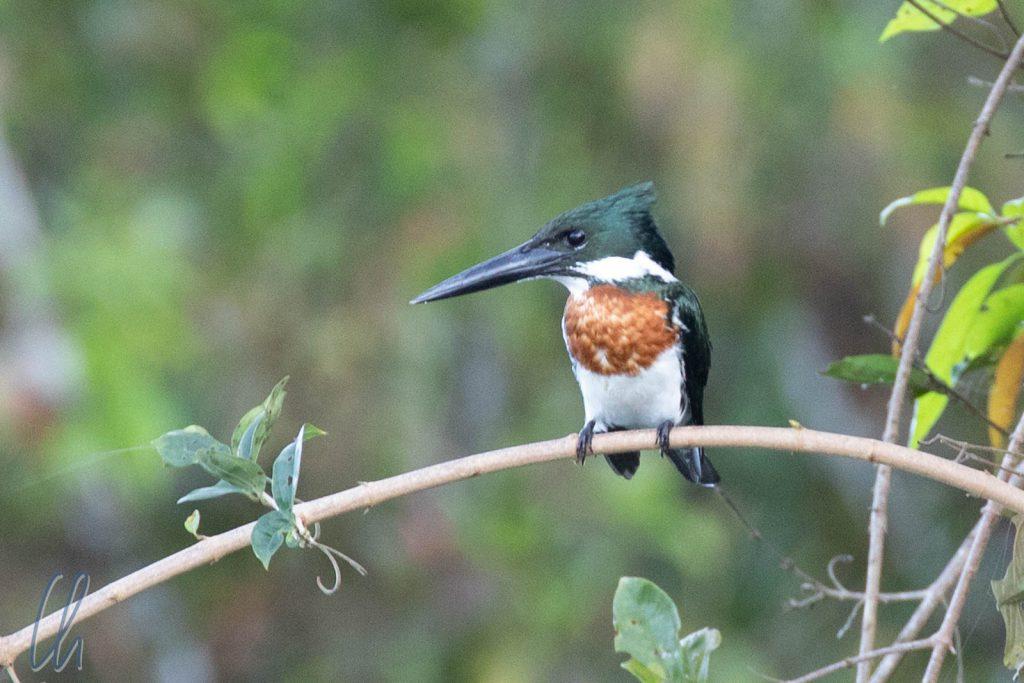 Ein Amazon Kingfisher auf der Suche nach Frühstück