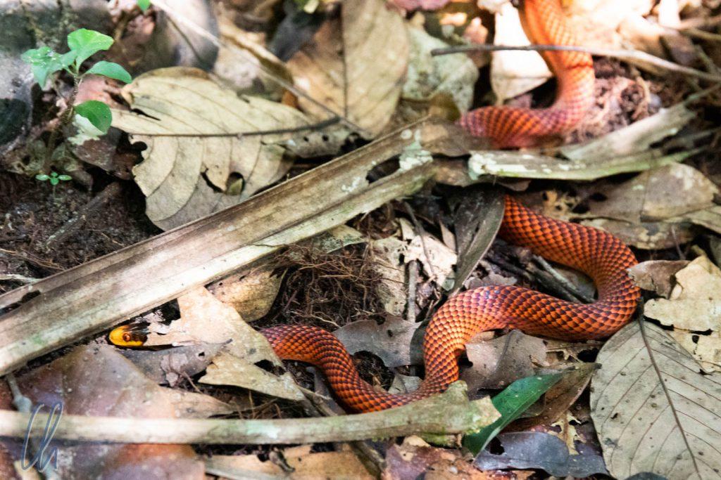 Eine Schlange auf unserem Weg: Oxyrhopus formosus (Formosa False Coral Snake)