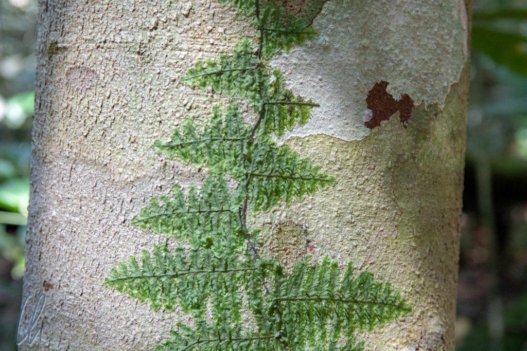 Fast wie aufgeklebt, diese Pflanze wächst am Baum empor.