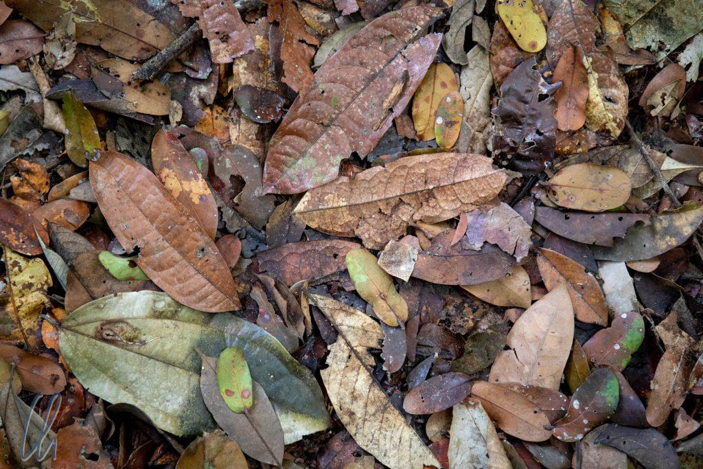 Das Geheimnis der Farbe des Rio Negro-Wassers: Eingeweichte Blätter