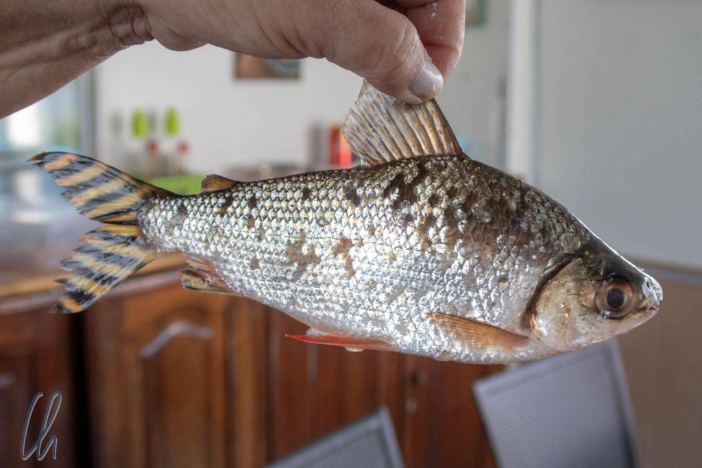 Jaraqui, wer dieses Fisch isst, kehrt immer wieder zum Rio Negro zurück