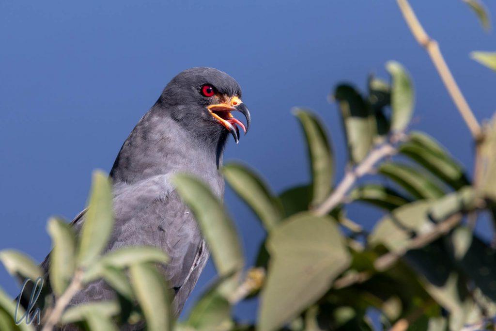 Die rötesten Augen im Pantanal, ein Snail Kite (Schneckenweih)