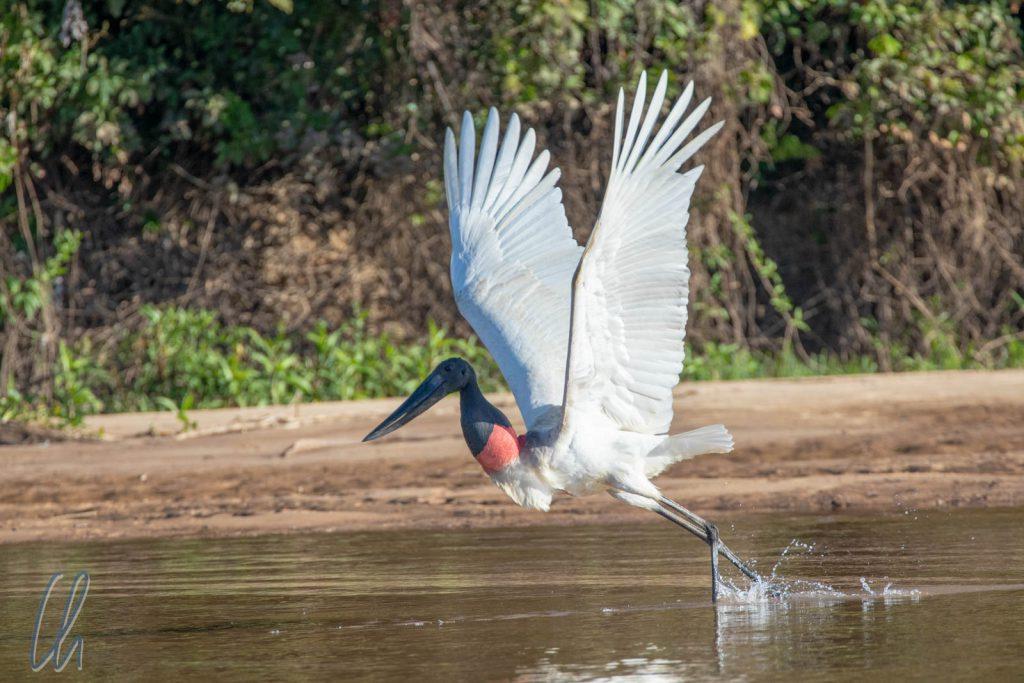 Ein Jabiru-Storch hebt ab