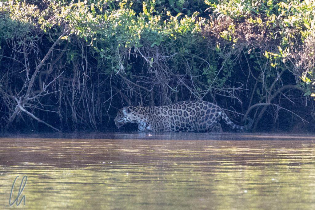 Ruth auf der Jagd, mit über 10 Jahren, ist sie eine ältere Jaguardame.