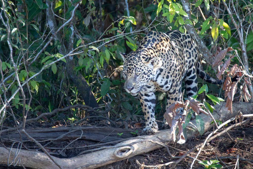 Ein Jaguar-Weibchen, ungestört von den Booten auf dem Fluss