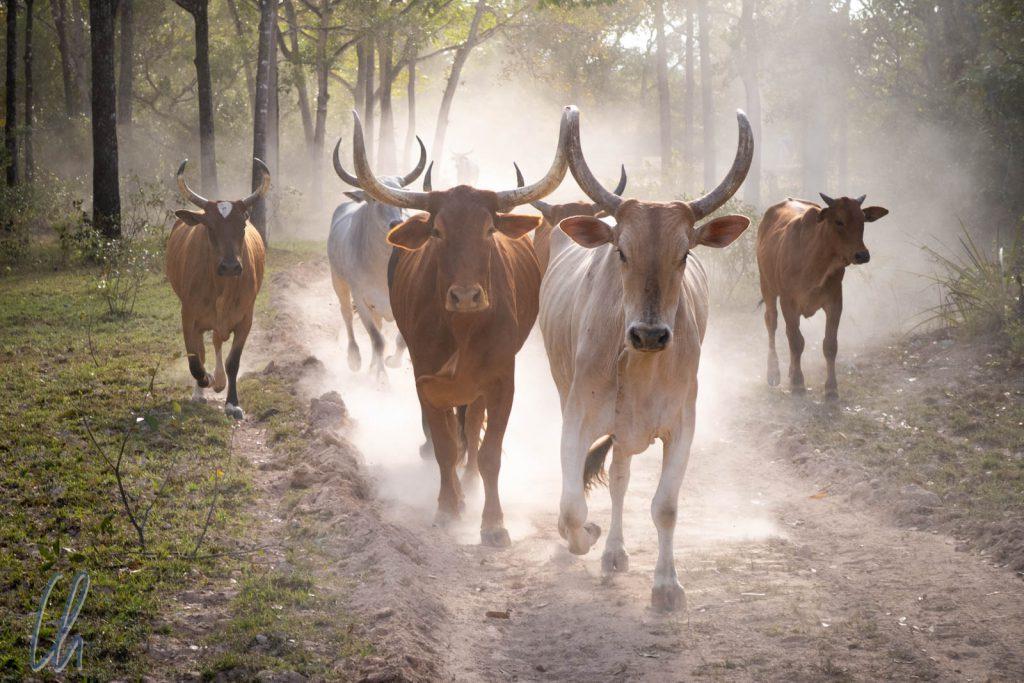 Pantanal-Rinder, sie formen die Landschaft schon seit mindestens 300 Jahren.