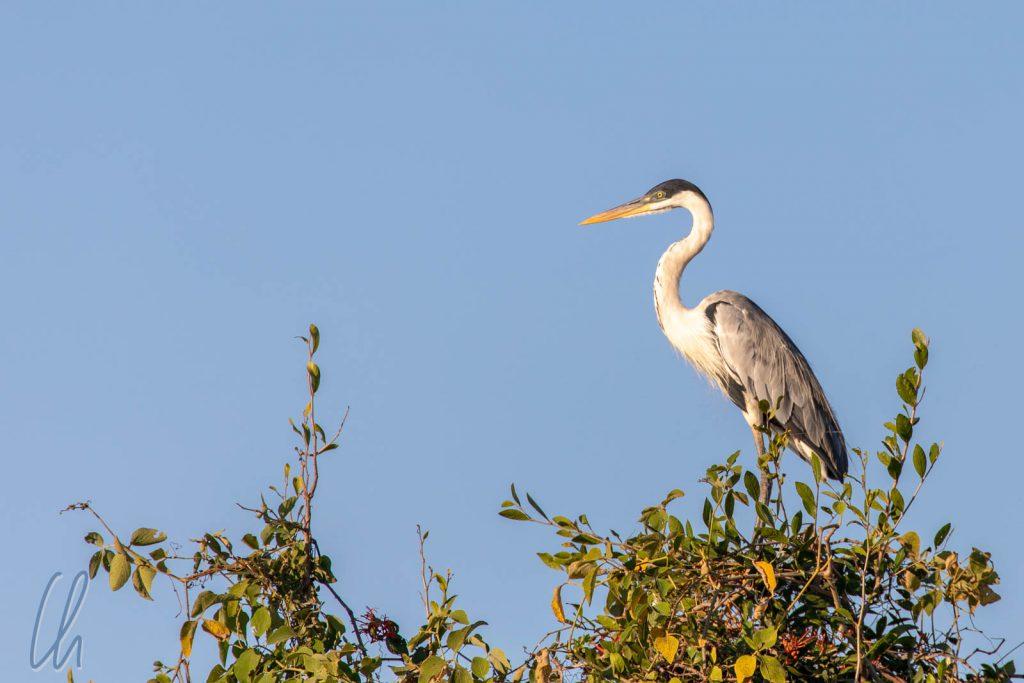 Ein Cocoireiher (Cocoi Heron) thront auf einem Baum für den besten Überblick.