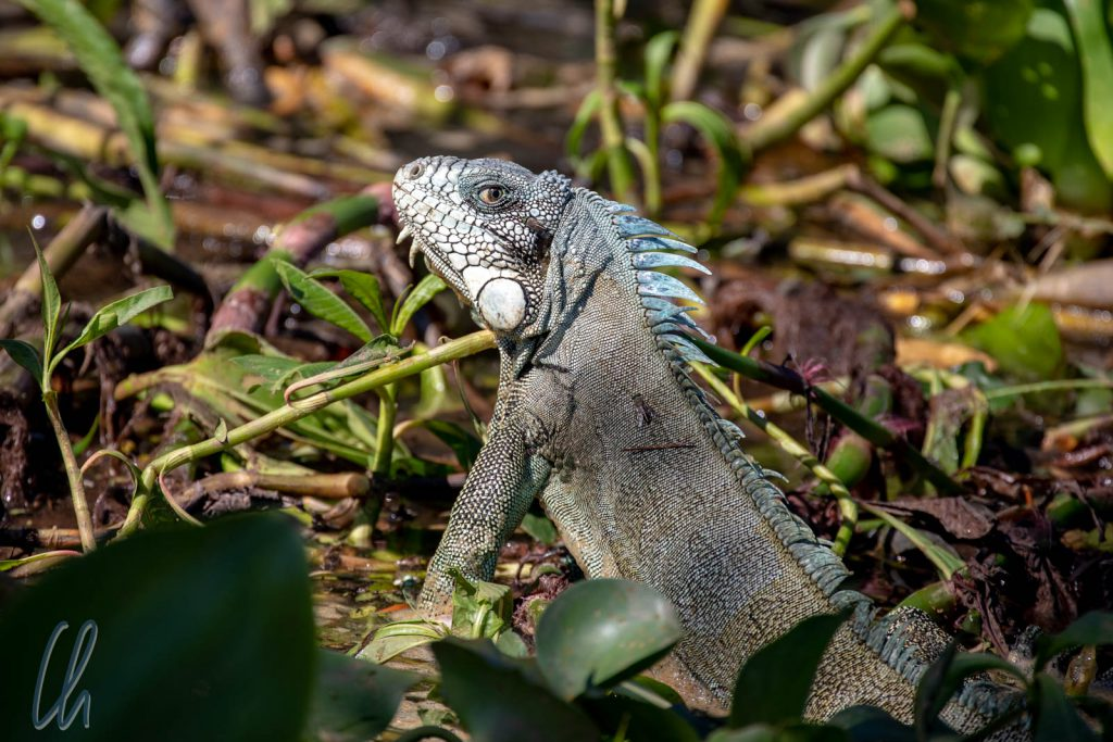 Ein Grüner Leguan (Green Iguana), er durchschwamm direkt vor uns den Fluss.