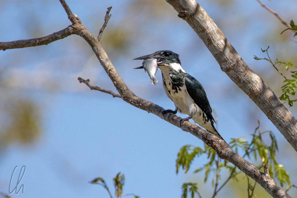 Ein Amazon Kingfisher (weiblich) mit fetter Beute