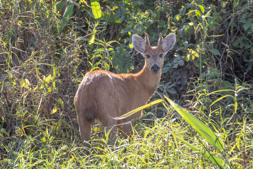 Marsh Deer, ein junges Männchen
