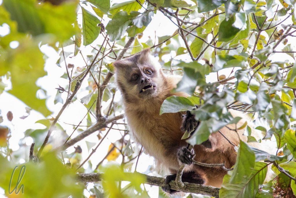 Ein Gehaubter Kapuziner Affe (Tuffed Capchin Monkey) im Cerrado