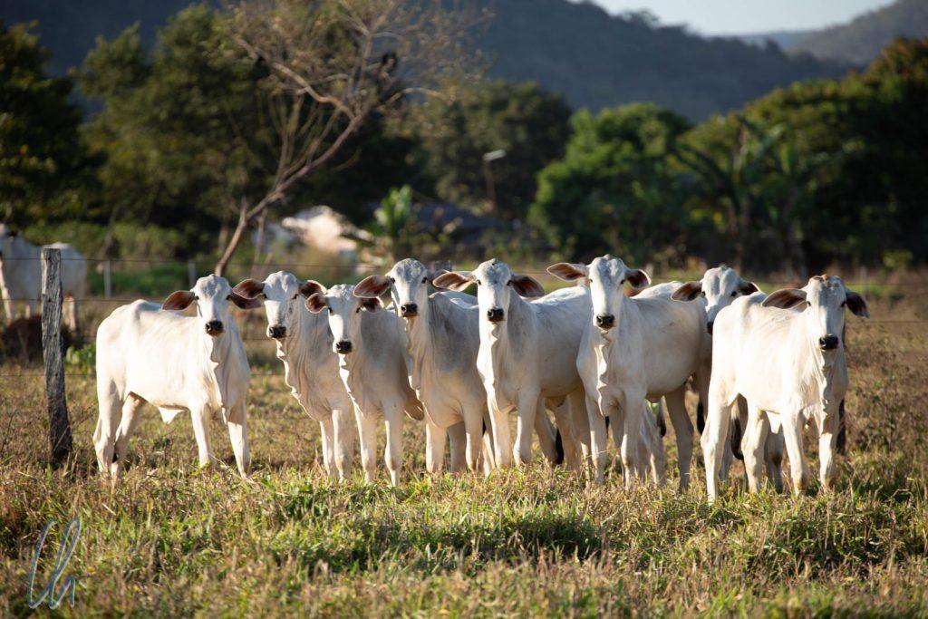 Die Wächter der Aras: Die gefährlichen Kühe