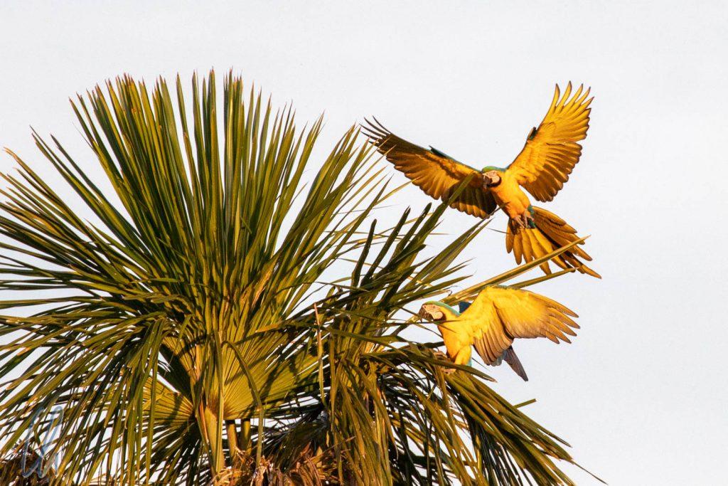 Zwei Gelbbrustaras im Anflug auf ihre Palme