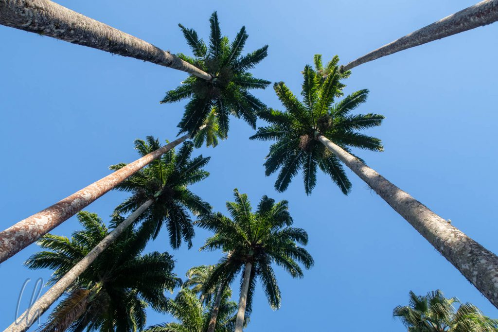 Riesige Palmen der Palmenallee im botanischen Garten von Rio de Janeiro