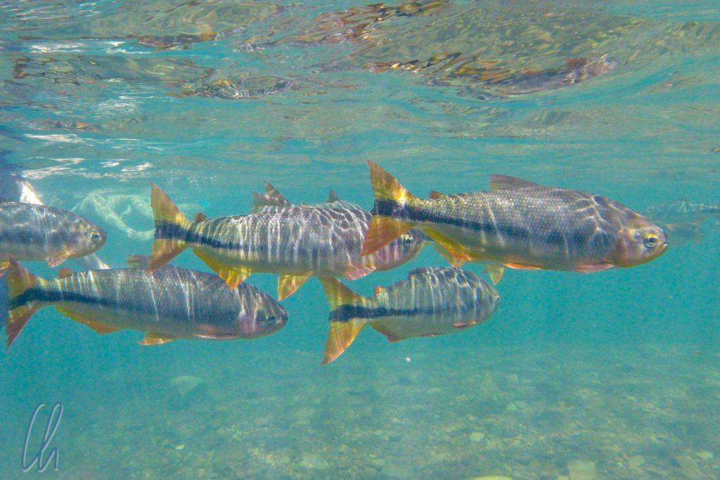 Piraputanga-Fische bei der Flotação
