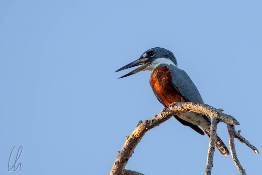 Ein Ringed Kingfisher, männlich