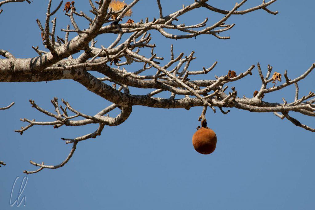Eine Baobabfrucht hoch oben im Baum