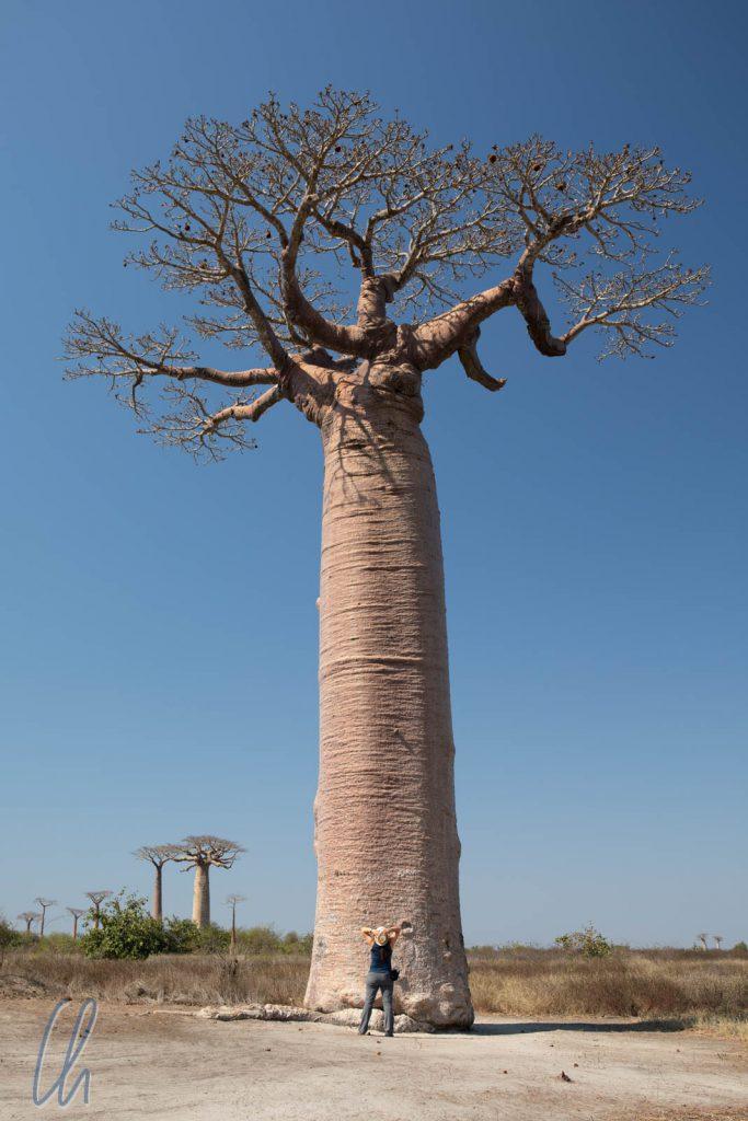 Ganz schön groß so ein Baobab!