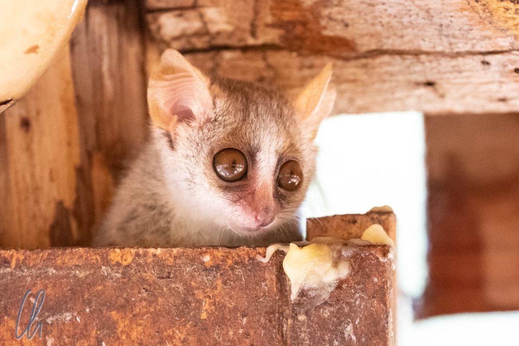Ein schüchterner Maus-Maki
