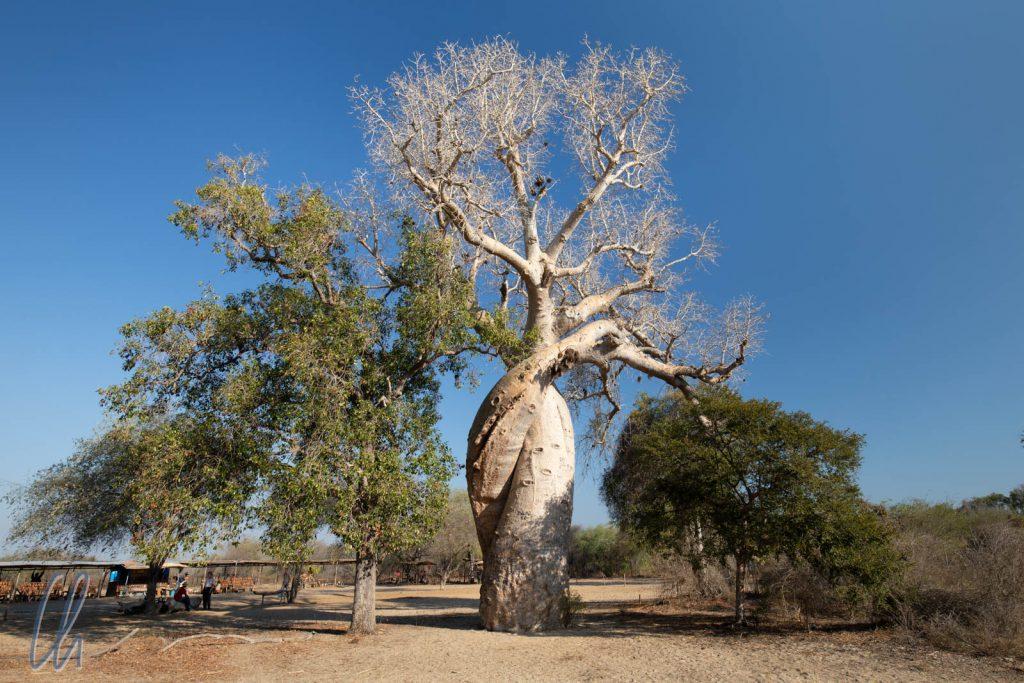 Die verliebten Baobabs, Baobab Amoureux