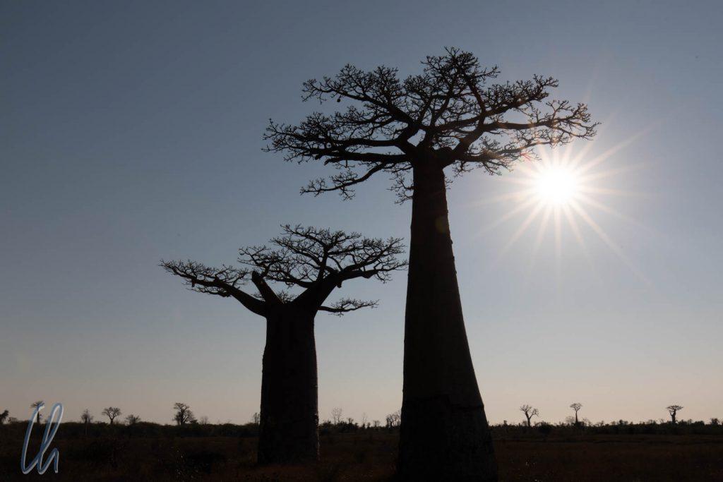 Wurzel nach oben, die legendäre Silhouette der Baobabs