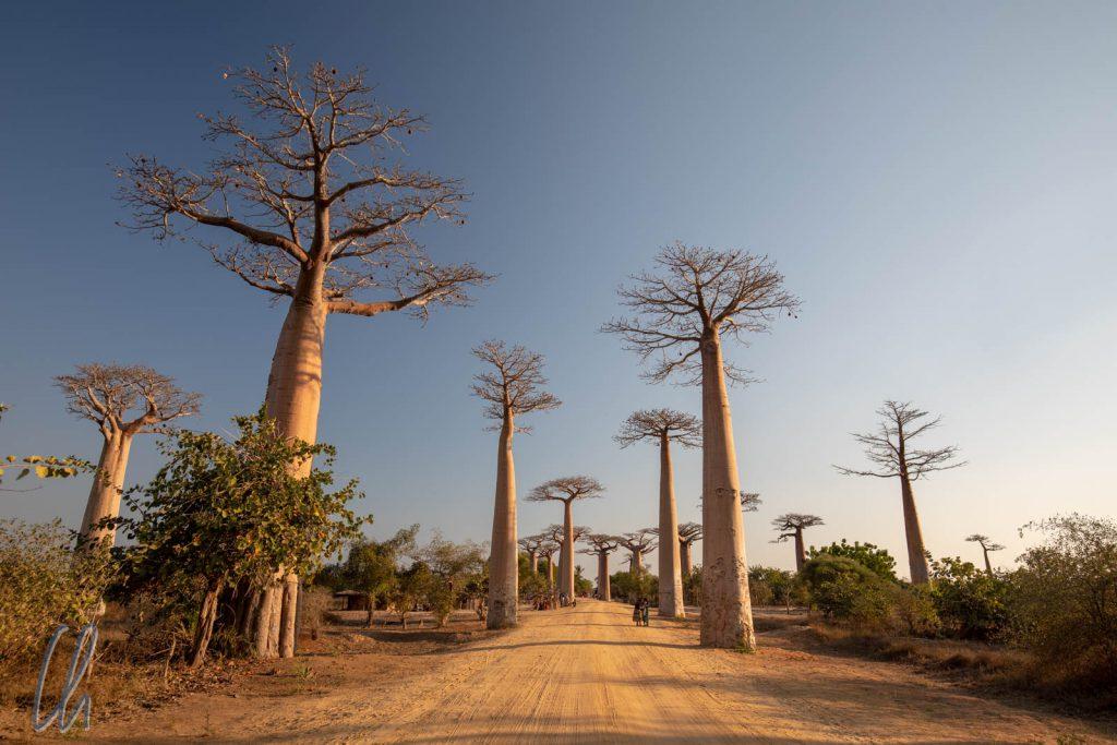 Die Baobab-Allee im warmen Licht der Abendsonne