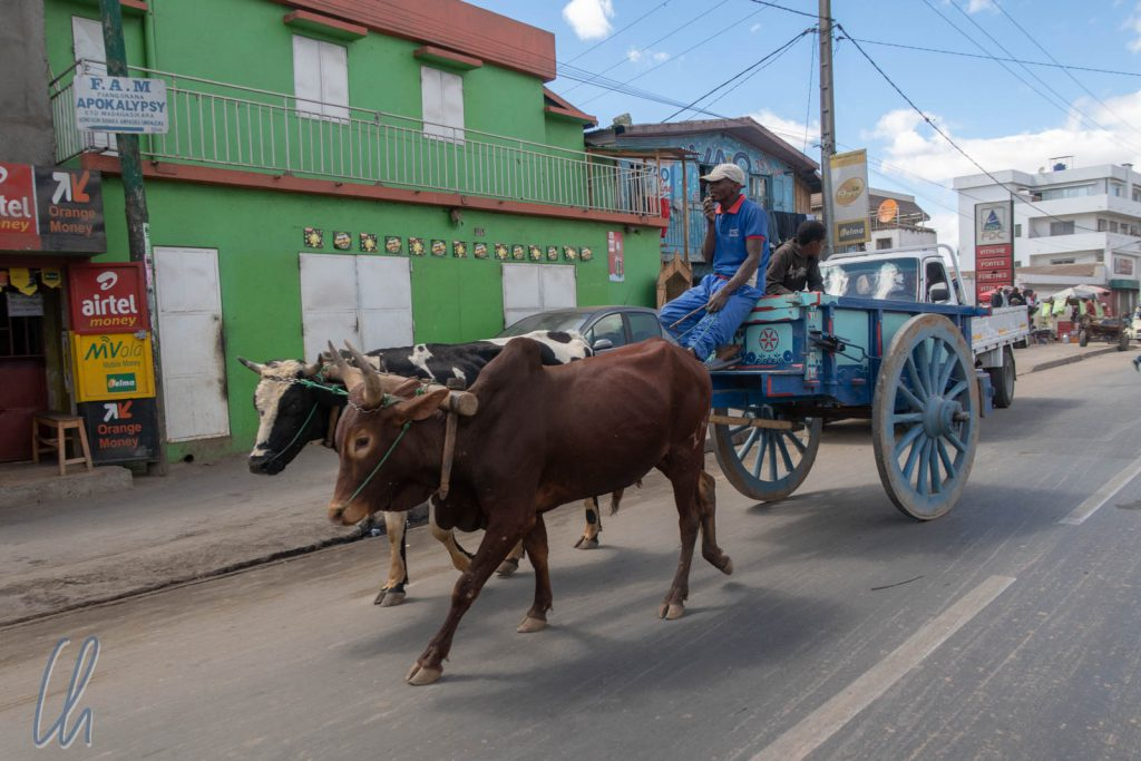 Keine Seltenheit: Ein Zebu-Karren auf den Straßen von Anatananarivo