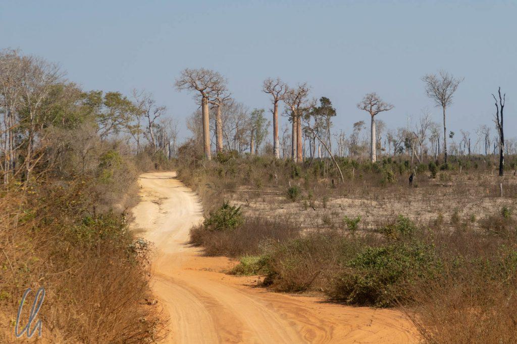 Verbleibende Baobabs auf gerodeten Waldflächen