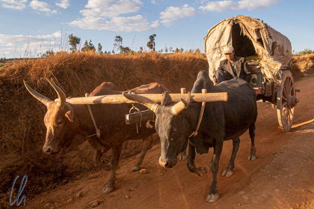 Zebus sind sie wichtigsten Arbeitstiere auf Madagaskar. Hier ein Karren mit 2 Zebu-Stärken.